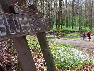 Poland Municipal Forest Bluebells