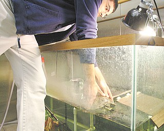 Aiello grabs a turtle named Slider from its tank. He and Butcher placed turtles on treadmills to study the relationship between muscle contraction and bone strain. The student and professor's goal is to improve human prosthetics.