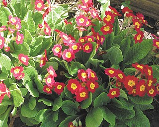 Primroses grown by Terri Dyce of Girard experienced an early blooming this year.