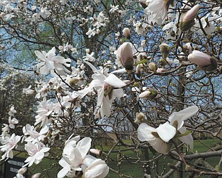 Here are magnolia trees at the Ursuline Sisters of Youngstown Motherhouse in Canfield, as seen by Sister Lisa Marie Belz. Photo sent in by Michele Ristich Gatts.
