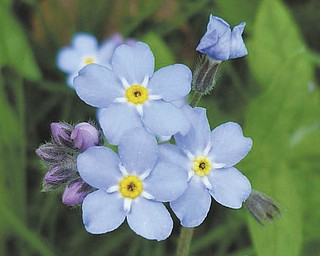 You'll not soon forget this photo of forget-me-nots by Sister Lisa Marie Belz. It was taken at the Ursuline Sisters of Youngstown Motherhouse in Canfield and submitted by Michele Ristich Gatts.