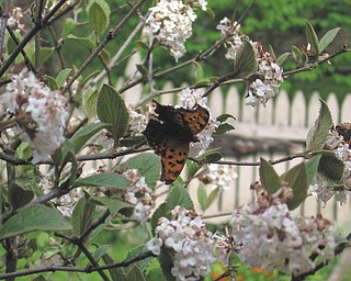 Enjoying the early spring flowers at the home of Terri Dyce of Girard were butterflies. She said she saw as many as five butterflies at one time on the blooms outside her kitchen window.