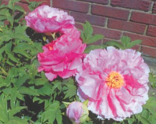 """Maryann Kilbreath of Salem says this """"peony tree"""" is the pride and joy of all of her flowers. It's been blooming since the week after Easter."""