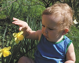 Ben Gaither, 1-year-old grandson of Laurie Fox of Lowellville, enjoys the daffodils at his grandparents' house. Ben's parents are Becky and Bill Gaither of Austintown. Photo sent in by Laurie Fox.