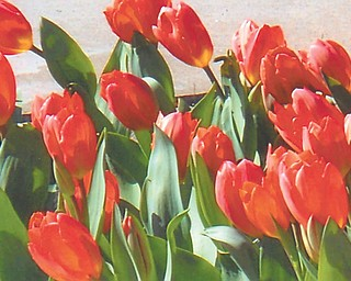 Doxie Damico of Youngstown sent in this photo of tulips in bloom at Fellows Riverside Gardens in Mill Creek Park in Youngstown.