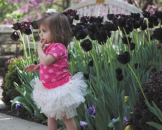 Sophia Sicilia Testa, 16 months, is surrounded by the purple tulips in the flower garden at Mill Creek Park. She is the daughter Angela & Michael Testa of Boardman. Photo was taken by her nanny, Brittany Schiffhauer.