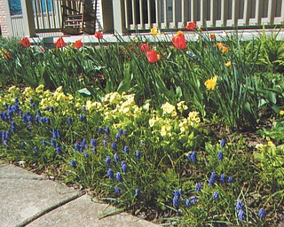 Irene Scullen of New Middletown submitted this photo taken on Holy Saturday, April 7. The bulb and perennial garden in front of her porch boasts tulips, daffodils, yellow primroses and grape hyacinths in bloom.