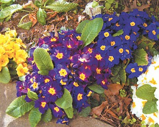 Primroses show off their vibrant colors. Photo sent in by Marilyn King of Newton Falls.