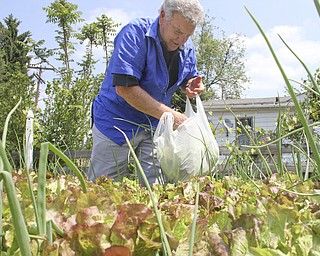 William D Lewis TheVindicator  Longtime Youngstown barber Cosmo Pecchia has a garden behind his shop where he is shown picking lettuce.