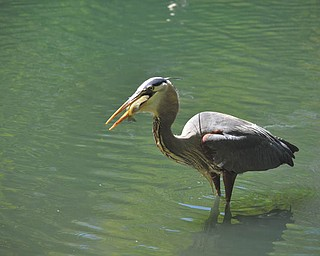 Here's a great blue heron having dinner at the Lily Pond in Mill Creek Park. Photo sent in by Nancy Wilkens of Hubbard.