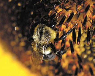 This close-up photo of a bumblebee was submitted by Ken Johnson.