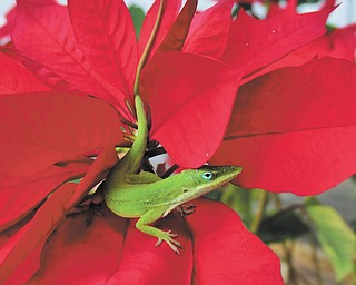 Annette McCarthy of Youngstown sent in this photo of a green lizard popping out of the center of a bright red poinsettia in Babson Park, Fla.