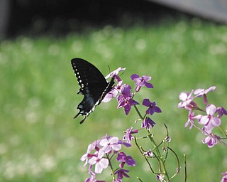 An Eastern Tiger Swallow Tail butterfly recently visited the flower garden of Rachell Joy, so she took a photo of it.