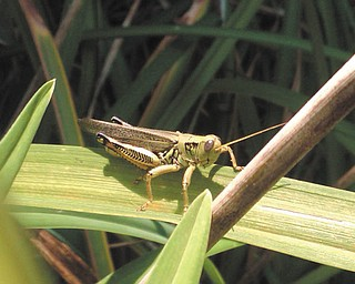 David Gemmel submitted this photo, taken in late summer of last year, of a common grasshopper on a daylily leaf.