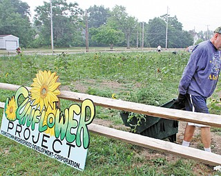 The Rev. Edward Noga, pastor of St. Patrick Church, Oakhill Avenue in Youngstown, hauls weeds pulled from a one-acre sunflower patch next to the church.