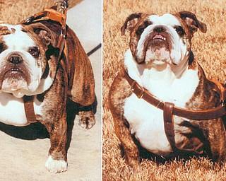 Mabel, the stolen English bulldog