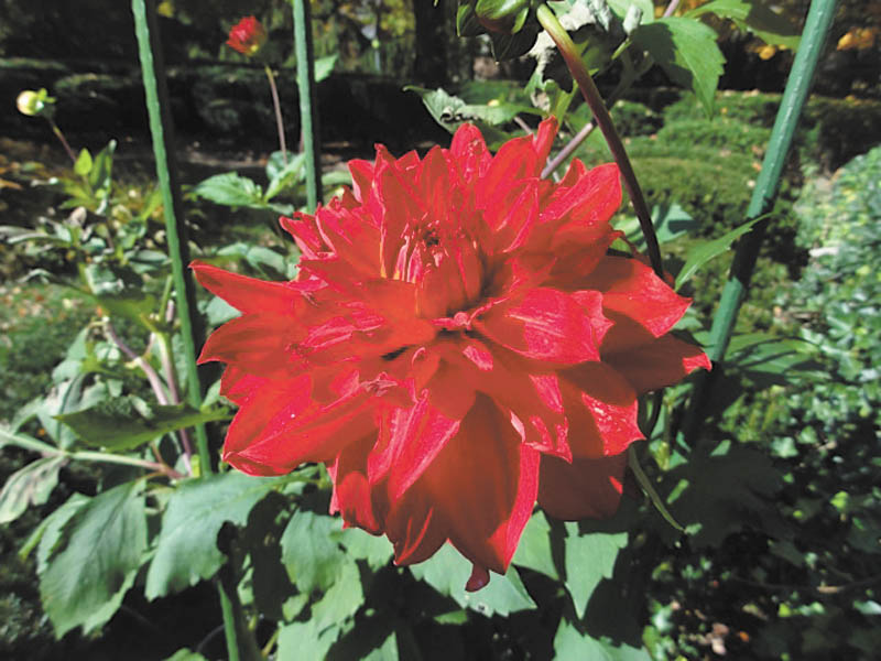 Marsha Karzmer of Boardman sent in this photo of dahlias from her garden.