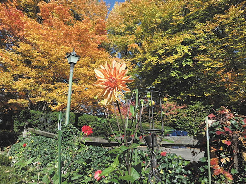 Marsha Karzmer of Boardman sent in this photo of dahlias from her garden against the fall leaves.