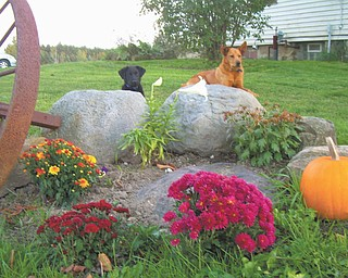 Yogi, left, gets some training from his pal Sparky near some hardy mums. Photo sent in by Stephanie Sanders of North Jackson.