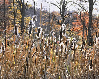 Annette McCarthy of Austintown sent us this picture of cattails that look quite interesting against the background of fall leaves and a pond. She took it in Berlin Center.