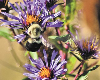 Annette McCarthy of Austintown shot this photo of purple wildflowers in the woods at Berlin Center in early October. She says the bee was an added bonus.