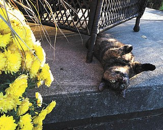 Connie Bostardi of Hubbard snapped this photo of Snickers sunning herself next to the mums.
