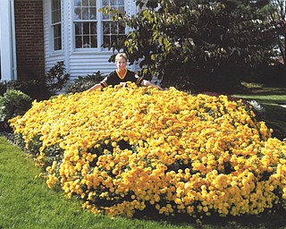 If mum's the word, then this is one huge word! Tevis DiMascio of Boardman sent in this photo, explaining that this abundance of mums started as a single 4-inch potted mum that was planted 22 years ago. Today, it measures 7 feet by 9 feet of blooming beauties.