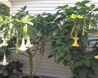 Barbra Nasci of Brookfield sent in this photo of angel trumpets, her favorite fall flowers.