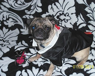 "Dianalyn Thomas of Youngstown says, Charlie Brown, her 3-year-old Pug, is waiting for his ""Valentine pugs and kisses."""