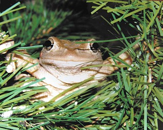 """Here's a photo of a Cuban tree frog taken in a tree in the Boardman back yard of Bert Toth, who says, """"Our granddaughter loves frogs, and loves this photo. I had it enlarged and framed for her. She loves nature!"""""""