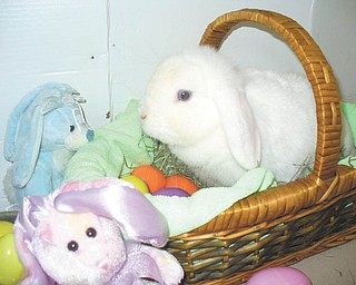 Holland Lop Lilly was sent by the Zedakers of Hubbard.