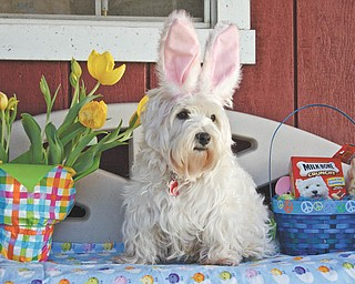 """Owner Brenda Kiddon of Poland sent in this photo of """"Echo,"""" her Westie, who scored big with a basket of treats for Easter!"""