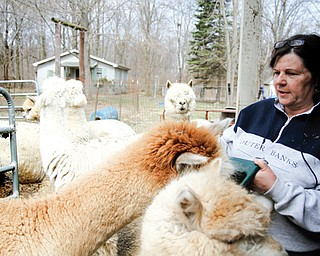Beverly DeMario, owner of Pleasant Valley Alpaca Ranch in Girard, feeds her alpacas.