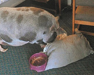 Penelope the 300-pound potbellied pig was found in a ground-floor room of Hotel 30 on Motor Inn Drive when Liberty police checked a tip that a wanted man was staying there.