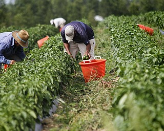MADELYN P. HASTINGS | THE VINDICATOR..Workers pick produce from Anguilis Farm in Canfield on August 6, 2013..... - -30-..