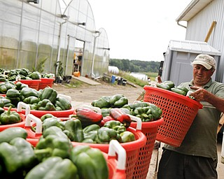 MADELYN P. HASTINGS | THE VINDICATOR..Mario Anguili unloads baskets of green peppers picked from their farm, Anguilis Farm Market in Canfield on August 6, 2013... - -30-..