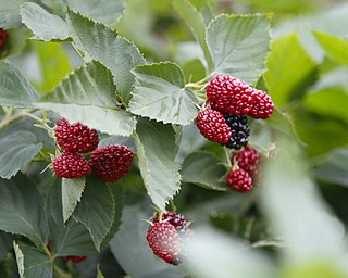 ROBERT K. YOSAY  | THE VINDICATOR..Blackberries are loving the cooler wetter climate as theya are huge and tasty..Huffmans fruit farm is faring pretty good with a wetter june and cooler july and august - crops  are slow but seem to be on target .. - -30-..