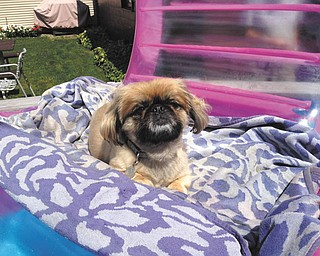 Chewy is relaxing while floating in the pool in the backyard of Andy and Gladys Stahara. Sent by Sandra Stahara of Ellsworth, his owner.