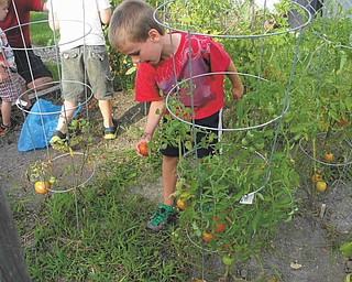 Owen Blanco  of Mayfield Heights, Ohio, grandson of Rochelle Blanco  of Boardman, is checking the tomatoes that are almost ready to harvest.