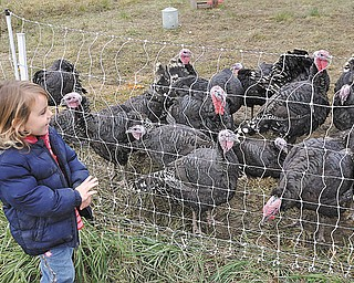 Willow de Szalay, 3, looks at how pasture raised turkeys live before they head to area dinner tables for Thanksgiving. She was with her father, Ferenc, who owns Meadowhawk Farm in Champion.
