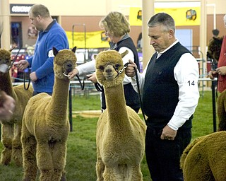 "Kelli Cardinal/The Vindicator .Rick Ritenour, from Alpaca Palace in Butler, Pa., shows ""Alpaca Palace Houdini Prince Harry"" in the brown male championship class Saturday during Alpacafest at Eastwood Expo Center in Niles."