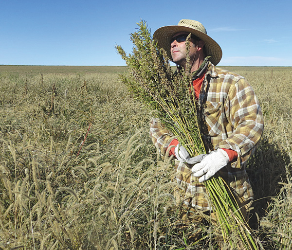 Hemp chef Derek Cross helps harvest hemp during the first known harvest of the plant in more than 60 years in Springfield, Colo. The federal farm-bill agreement reached Monday reverses decades of prohibition for hemp cultivation. Instead of requiring approval from federal drug authorities to cultivate the plant, the 10 states that have authorized hemp would be allowed to grow it in pilot projects or at colleges and universities for research.