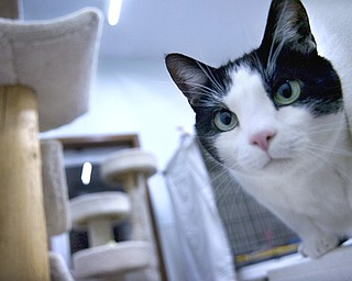 Kelli Cardinal/The Vindicator.Gabe, a black and white Domestic Short Hair, sits on a table Monday night next to one of the cat condos at Second Chance Animal Rescue in Austintown.