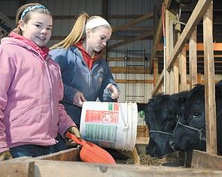 Emily, left, and Abby Hemphill of Berlin Center feed two of their three steers they'll enter into the Canfield Fair's market-steer project category this year. The 11-year-old and 16-year-old, respectively, belong to the 4-H Club, and within the next few months also will select their entries for the market swine and market feeder project categories.