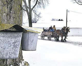 A team of Belgian horses passes a tree tapped for maple syrup near Montpelier, Ohio. Syrup season in Ohio typically begins by mid-February, but many producers still haven't tapped their trees because of the cold weather.