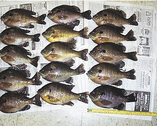 This nice catch of Ohio Bluegills was submitted by Bob Woychik.