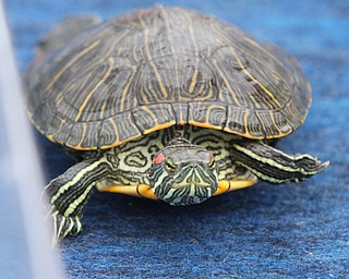 William D. Lewis/The Vindicator The 55 th annual Turtle Races sponsored by the Youngstown Lions Club were held in Lowellville Monday June, 20,2016.
