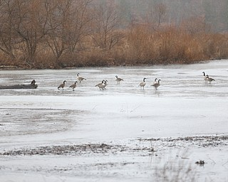 Canadian Geese sit on the remains of the ice covering on Lake Newport, Thursday, Jan. 11, 2018, in Mill Creek Park. ..(Nikos Frazier | The Vindicator)