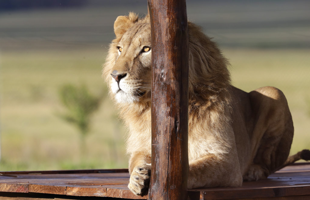 A 4-year-old lion named Simba, who was rescued from Syria by the animal rights group Four Paws, is released into an enclosure at the Lionsrock Lodge and Big Cat Sanctuary in Bethlehem, South Africa‎ in Bethlehem, South Africa on Monday, Feb. 26, 2018. Two lions rescued from neglected zoos in war zones in Iraq and Syria were transported to South Africa on Monday to live at a sanctuary with other animals that survived harsh conditions in captivity elsewhere in the world.