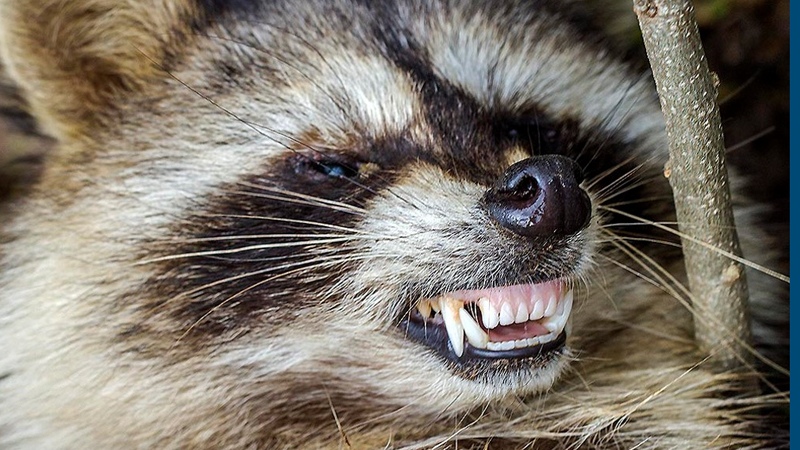 "Tests showed the ""zombie-like"" raccoons killed by Youngstown police had distemper."
